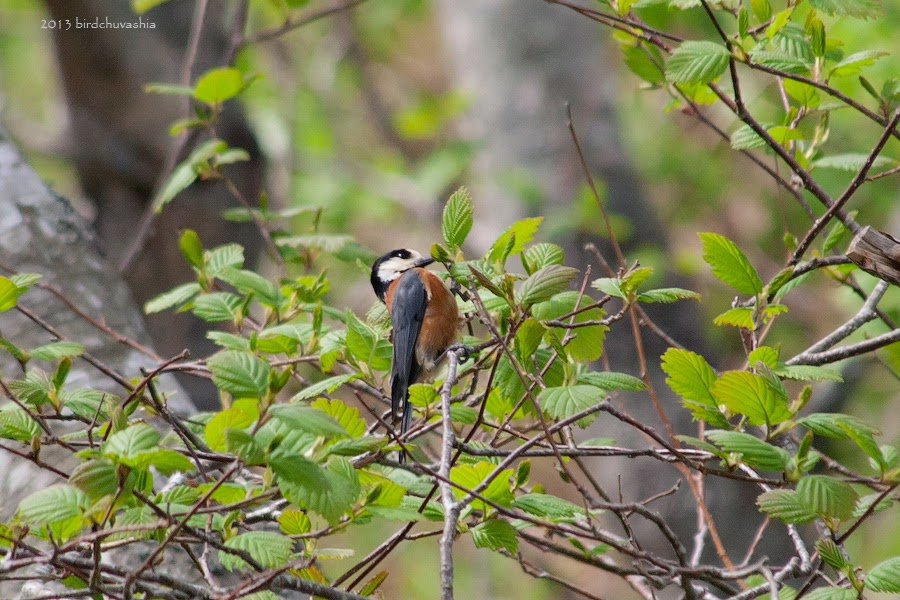 Тисовая синица - Parus varius