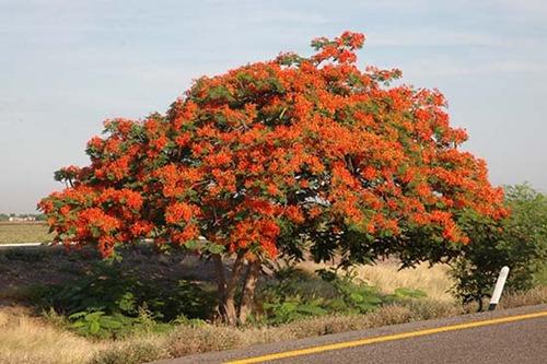 Tabachin_Tree