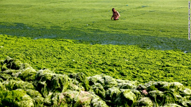 Tourists swim in seawater covered by a thick layer of green algae on 3 July 2013 in Qingdao, China. A large quantity of non-poisonous green seaweed, enteromorpha prolifera, hit the Qingdao coast. This year's growth, covering 28,900 square kilometers (11,158 square miles), is the biggest outbreak ever recorded, state-run news agency Xinhua reported. Photo: China Photopress / Getty Images