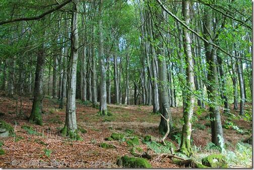 1-Beech-Woods
