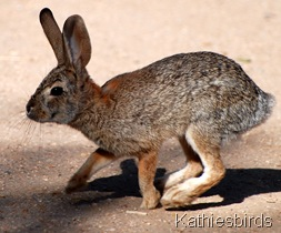 4. cottontail-kab