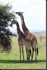 October 17, 2012 giraffe pair