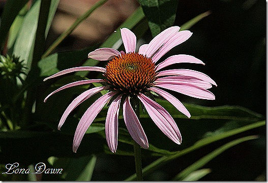 Coneflower_Light