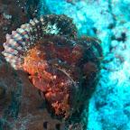 Skorpion-Fisch, Komodo