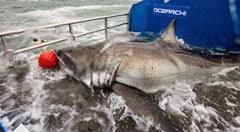 shark Lydia