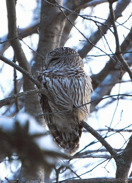 2. barred owl-kab