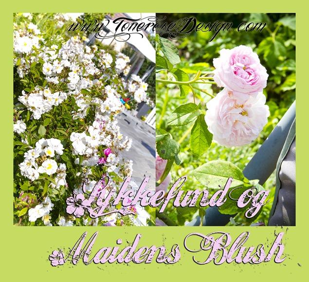 IMG_4145 lykkefund maidens blush