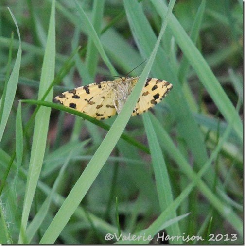 17-speckled-yellow