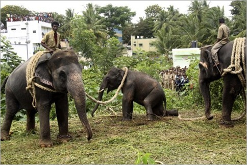India Elephant Rampage 07