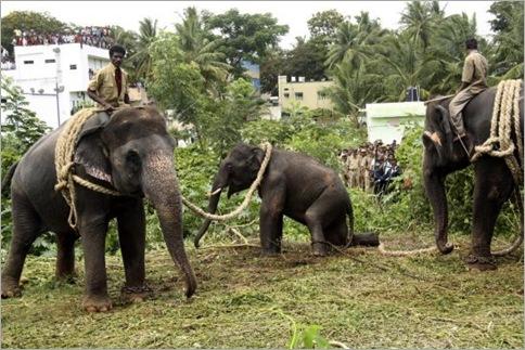 India Elephant Rampage 07
