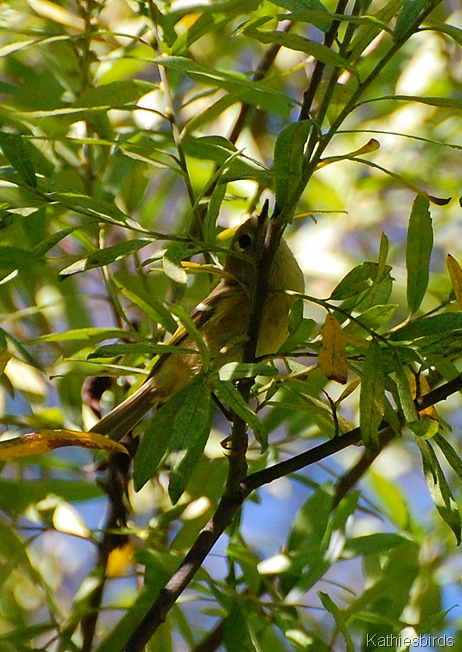 13. ruby crowned kinglet-kab