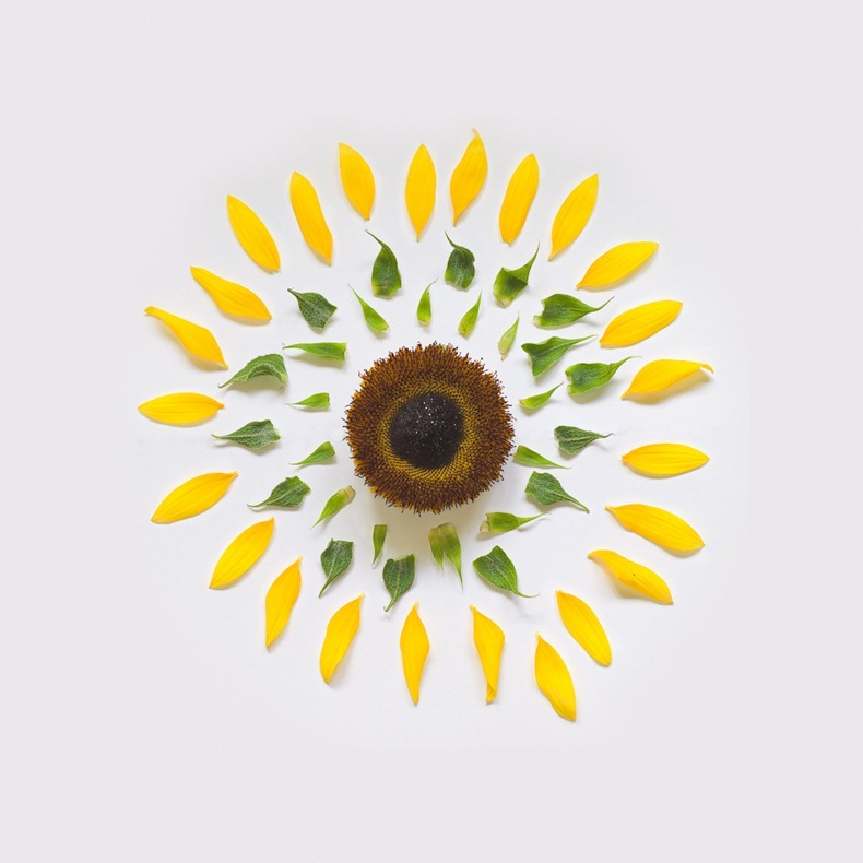 sunflower-exploded-2-portfolio-rag-A3