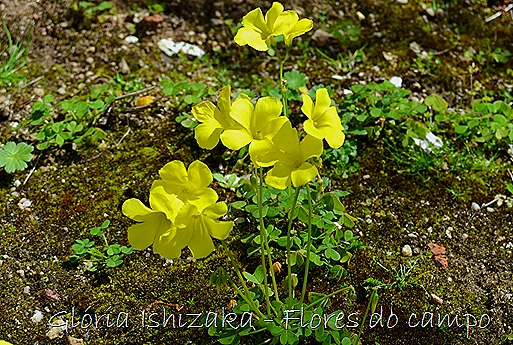 Glória Ishizaka -flor  15