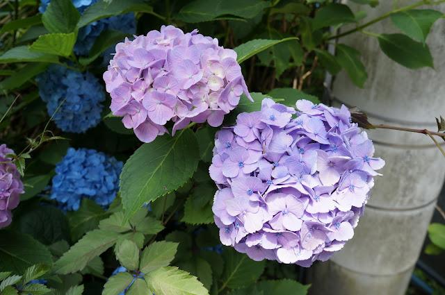 まだ紫陽花が咲いてた
