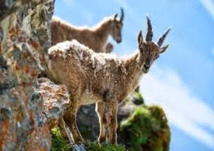 Amazing Pictures of Animals, Photo, Nature, Incredibel, Funny, Zoo, Alpine ibex, Capra ibex, Mammalia, Alex (14)
