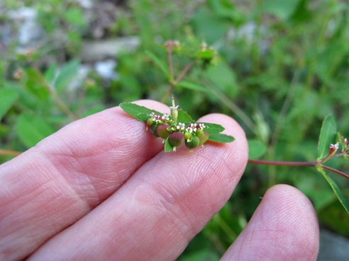toothed spurge on fingers-001