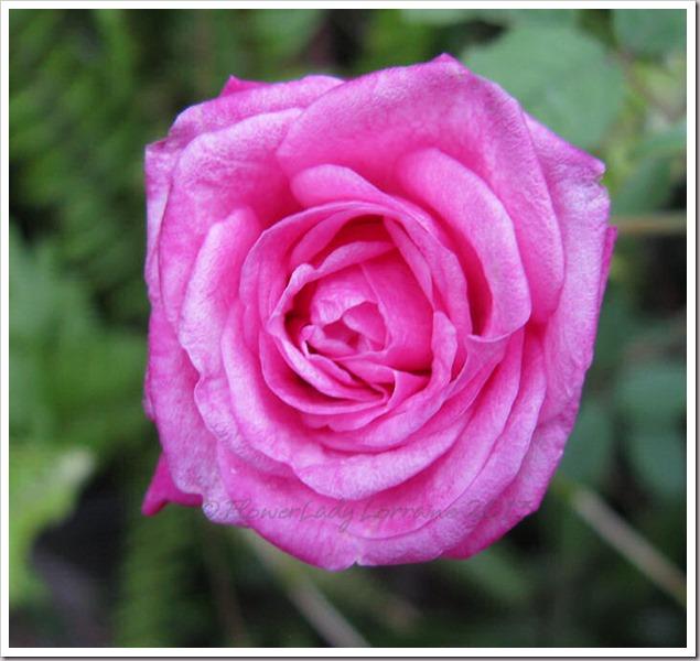 04-29-unkn-rose