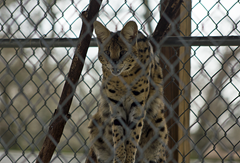Serval Exotic Game Park