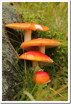 Przy Dużym Stole: Góry Izerskie jesienią, muchomory