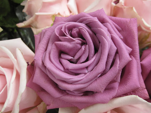 With the temperature raised in the store, the roses are able to open must faster. I love the way this rose's petals fold and take shape in the center.