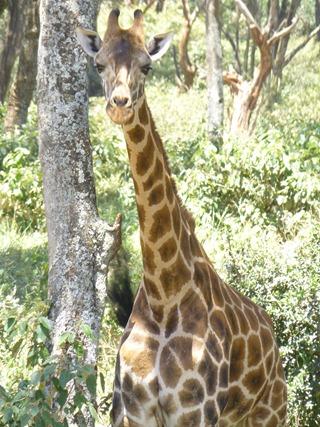 F Giraffe
