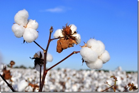 new farm cotton 2012 (22)