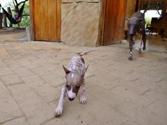 Peruvian hairless dogs ... ugh.