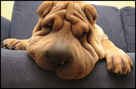 Funny Shar Pei Dog_5