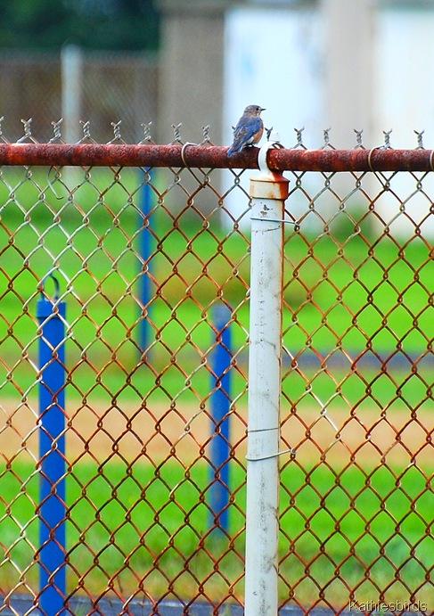 1. Sky blue bird-kab