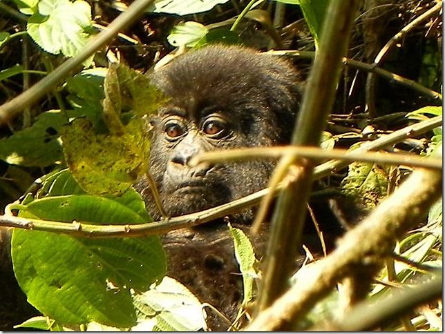 Rwanda_Gorillas (2)