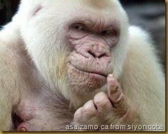 albino-gorilla-Culea