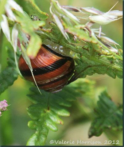 35-Dark-lipped-banded-snail-(Cepaea-(Cepaea)-nemoralis)