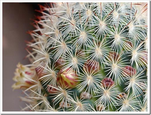 120308_Mammillaria-microhelia_01