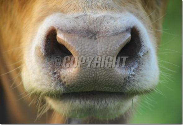 cow-snout-detail-image