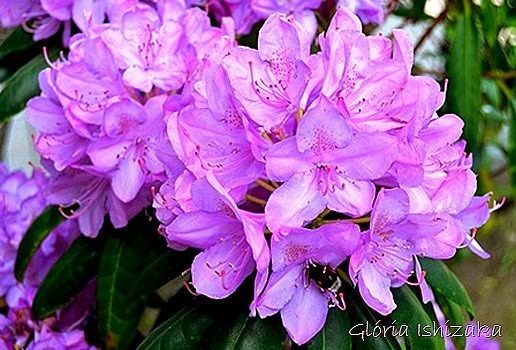 Glória Ishizaka - flor 6