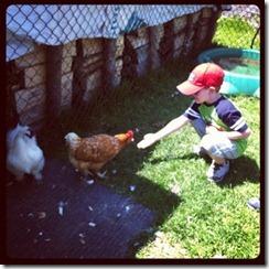 feedchickens