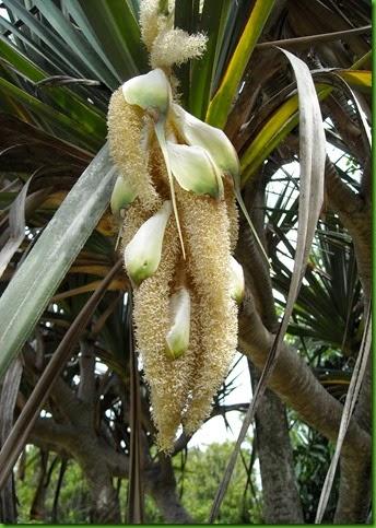 Pandanus - flowers (2)