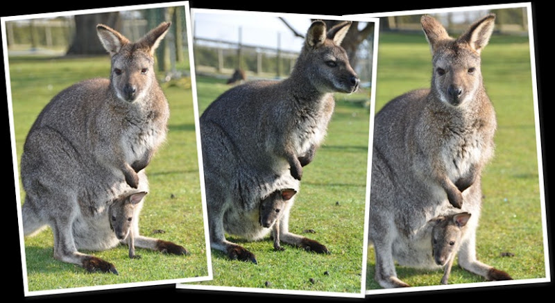 View Wallabies with Joeys 2