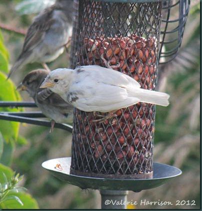 Leucistic-bird
