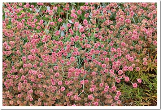 Eriogonum-grande-rubescens