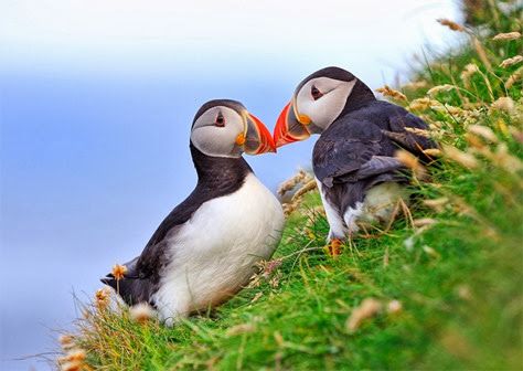 Amazing Pictures of Animals, Photo, Nature, Incredibel, Funny, Zoo, Puffins, Bird, Aves, Alex (15)