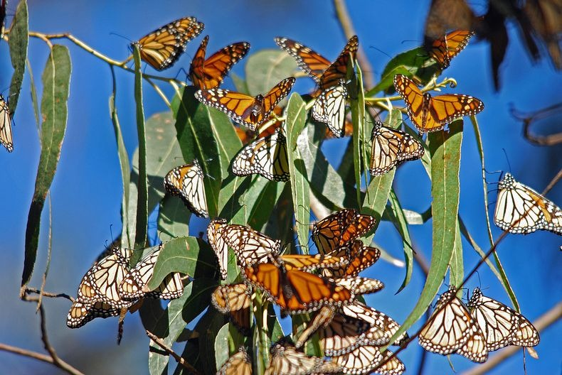 monarch-migration-15