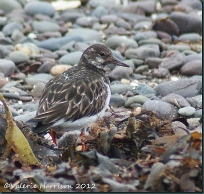 3 Turnstone