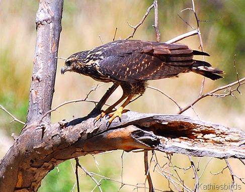 1. juv Black hawk-kab