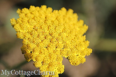 yellow yarrow...nice