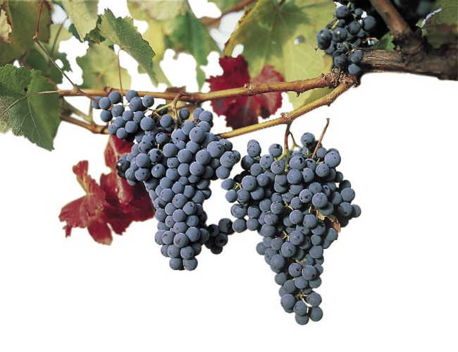 tempranillo-blog-peninsula-vinhos