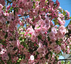 crab apple tree 2014