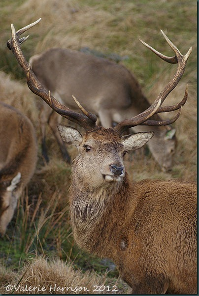 30-red-deer