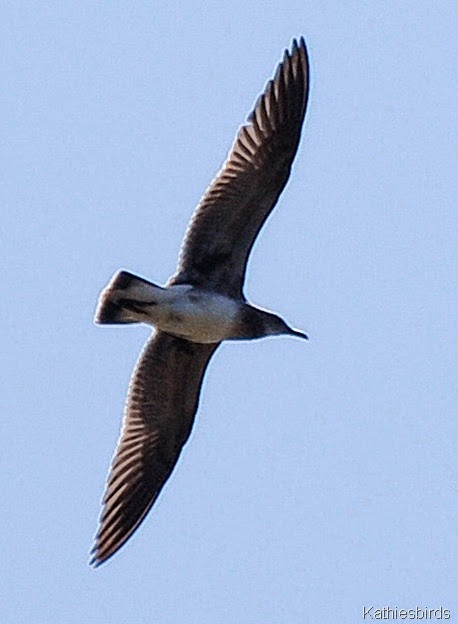 2. laughing gull-kab