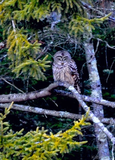 DSC_0251 Barred Owl Rossmore Road-kab
